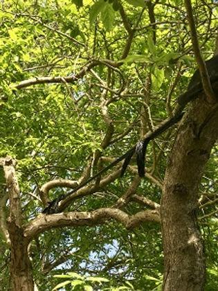 Tree bracing.jpg