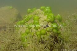 Groen geleikogeldier_onderwater