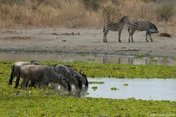 Gnoes en Zebra's