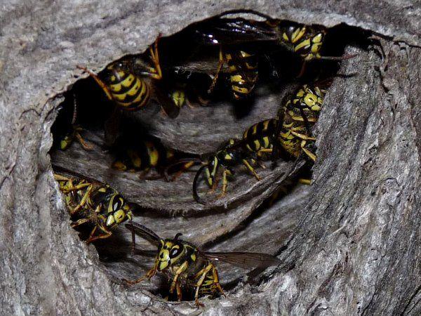 Hornet Nest Entrance
