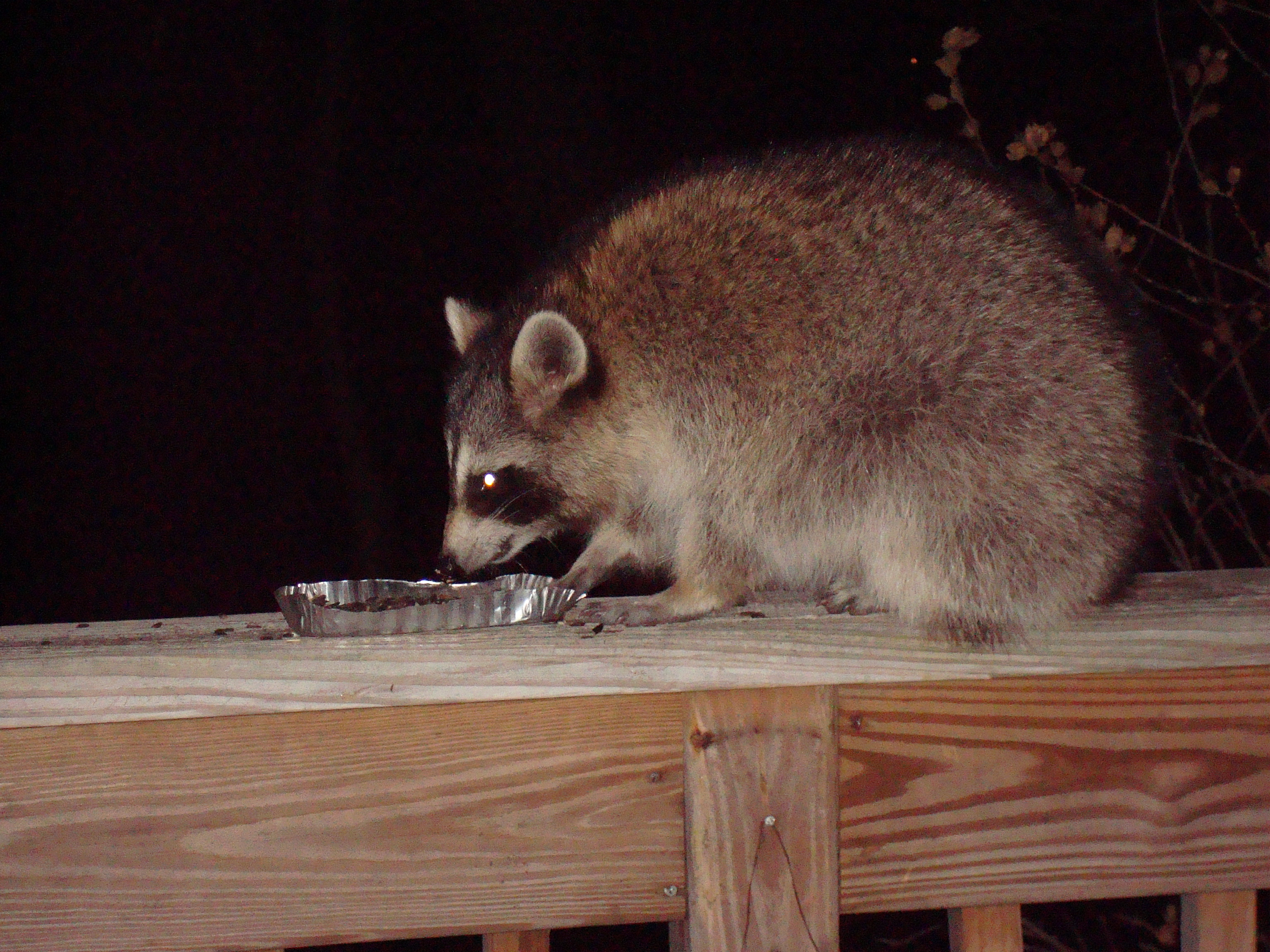 Raccoon Control & Removal