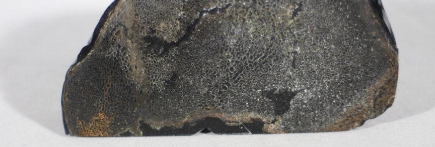 Stabiliseret fossil knogle af bison.