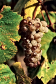 05.06-Pinot_Blanc-176-Bouard.png