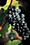 05.08-Pinot_Noir-181-Bouard.png