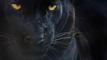 Panther-schwarzer_leopard-original_ww224