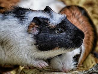 guinea-pig-3689312_1920.jpg
