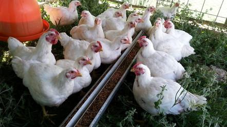 pastured chicken.jpeg