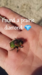 Prairie Diamond Dung Beetle.jpg