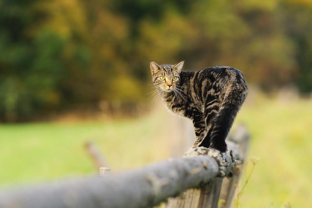 Katze balanciert auf Zaun