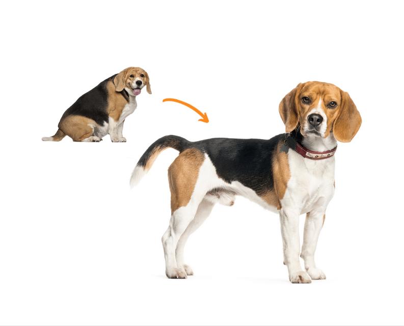 übergewichtiger Beagle und schlanker Beagle