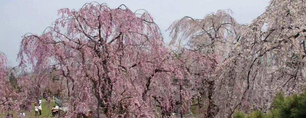 2018 Hirosaki Cherry Blossom Festival