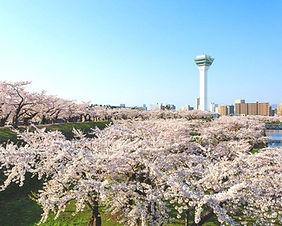 Cherry blossoms at Goryokaku Fort in Hakodate, Japan