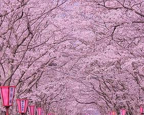 Cherry blossoms at Tsutsujigaoka Park in Sendai, Japan
