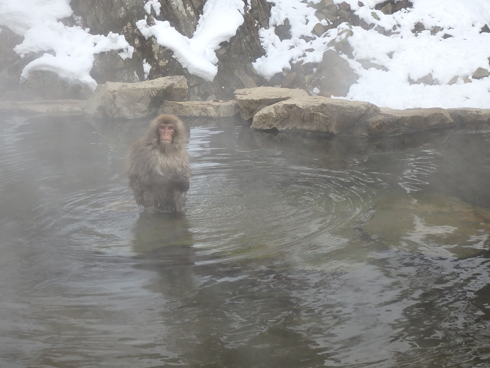 Snow monkey soaking in a natural hot spring in Nagano, Japan