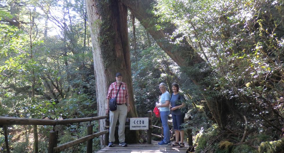 Yakushima Island Cedar Tree