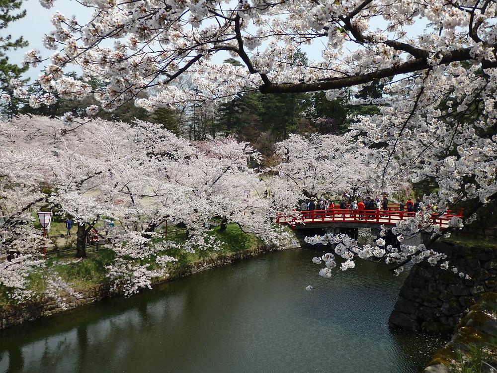 Beautiful cherry blossoms at Hirosaki Castle in Aomori