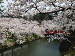 The spectacular Hirosaki Cherry Blossom Festival in Aomori, Japan