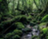Tropical rainforest on Yakushima Island in Japan