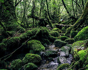 Tropical rainforest on Yakushima Island in Japan