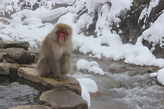 Adorable snow monkeys (Japanese macaques) bathing in natural hot springs in Nagano, Japan.