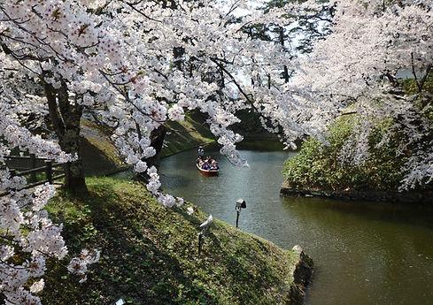 Beautiful spring cherry blossoms at Hirosaki Castle in Aomori, Japan