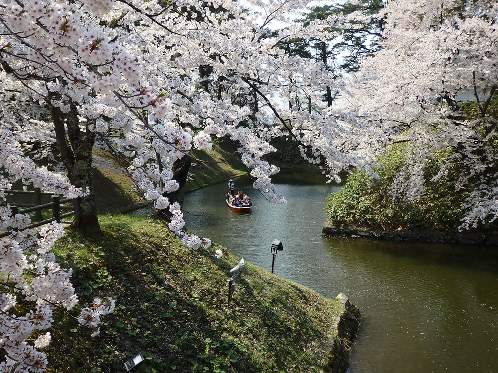 Beautiful cherry blossoms at Hirosaki Castle in Aomori prefecture