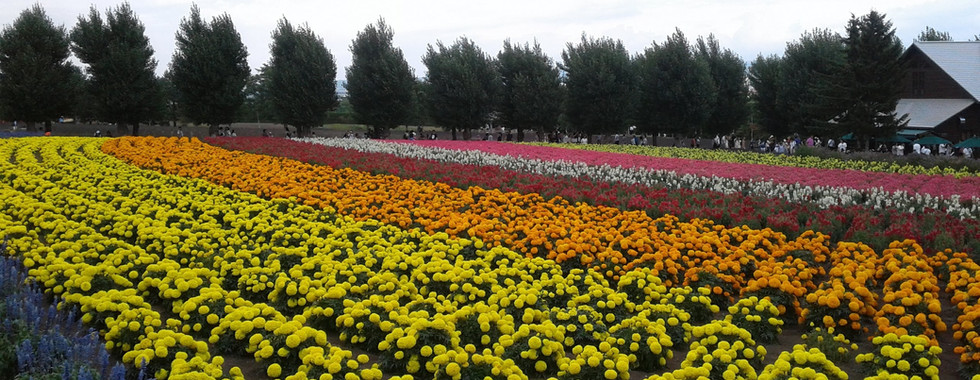Tomita Farm Flower Fields in Hokkaido