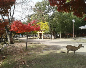 Autumn foliage in Nara Park in Nara city, Japan
