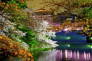 Night cherry blossom in Tokyo, Japan during our Spring Sakura small group tour of Japan.