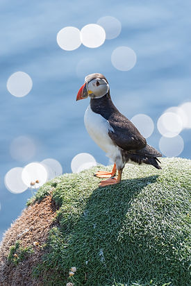 Puffin in scotland seen on luxury private tour to st andrews with scotlux