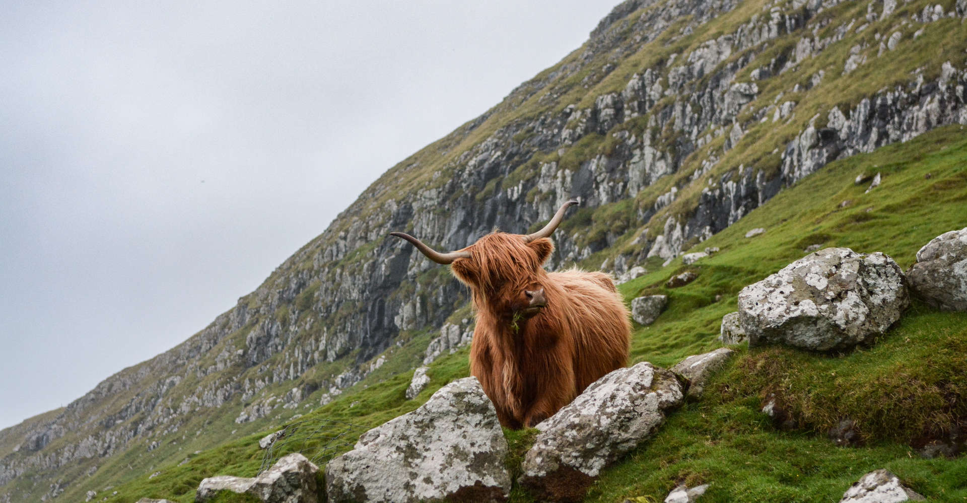 Hairy Coo or highland cow on hillside with sky and mountains