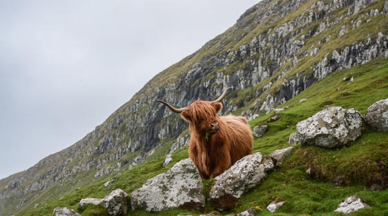highland cow or hairy coo on hillside in scotland