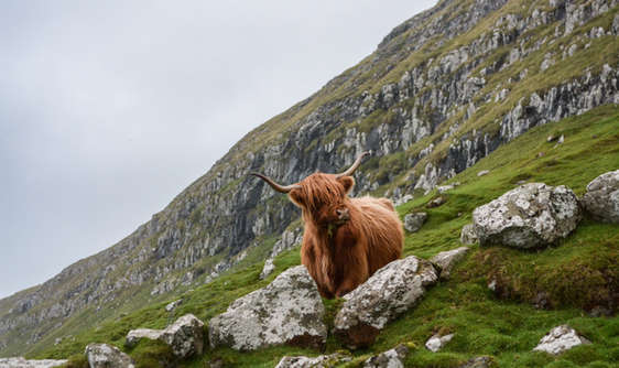 hairy co or highland cow