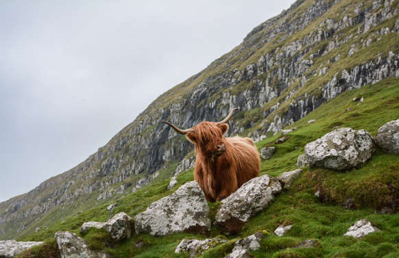 highland cow or hairy coo on mountains in scotland