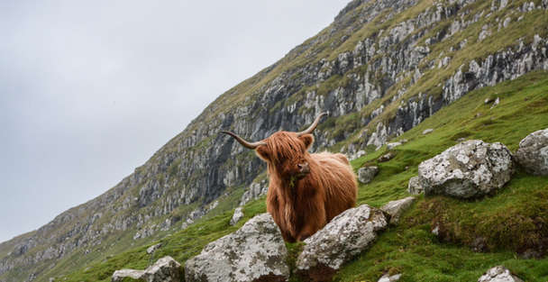 hairy coo or highland cow in scotland