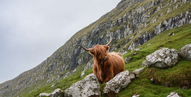 highland cow or hairy coo on hillside