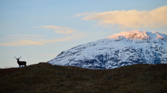 Deer at sunrise in Glencoe scotland with snowy mountains