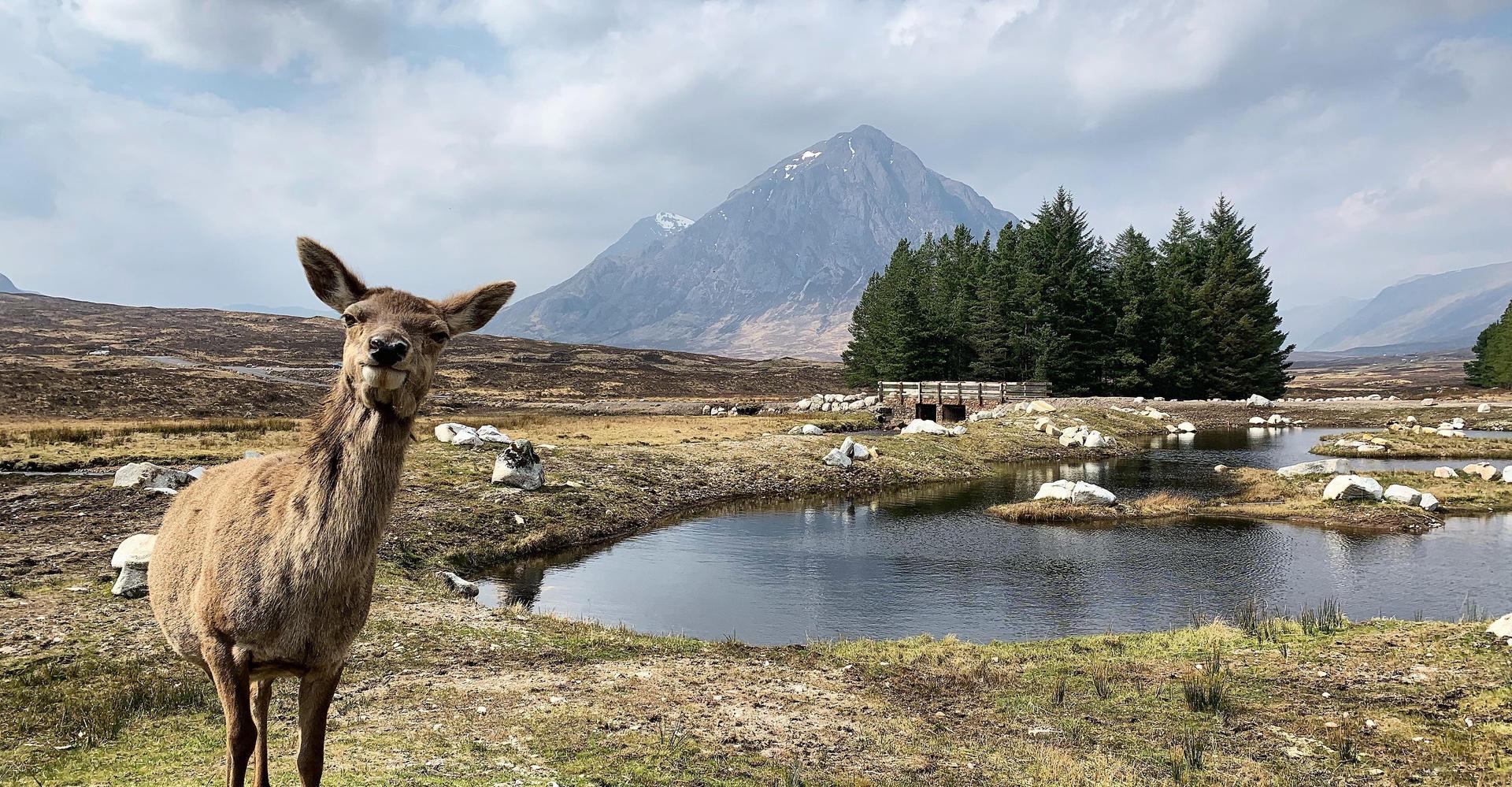 Deer and Buachille Etive More, Glencoe