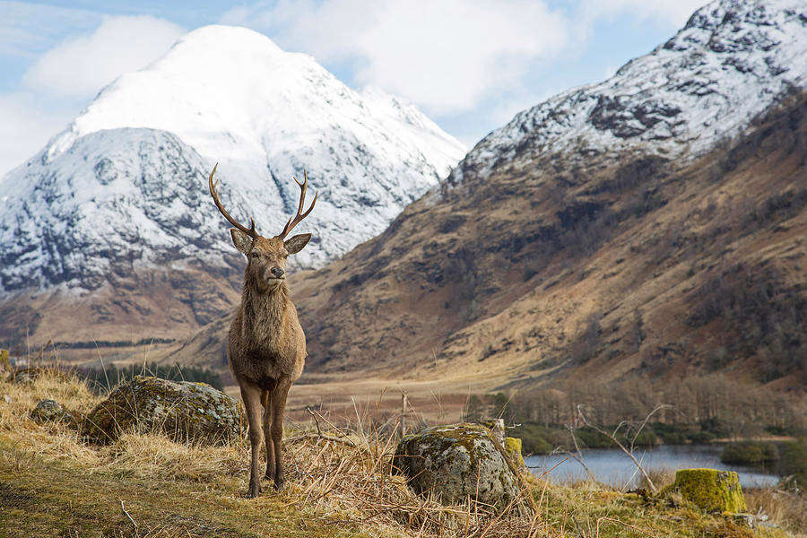 red deer stag in glencoe scotland with snowy mountains