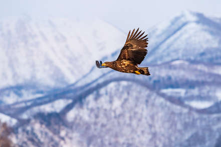 Golden Eagle and snowy mountains seen in scotland on luxury private wildlife tour with scotlux