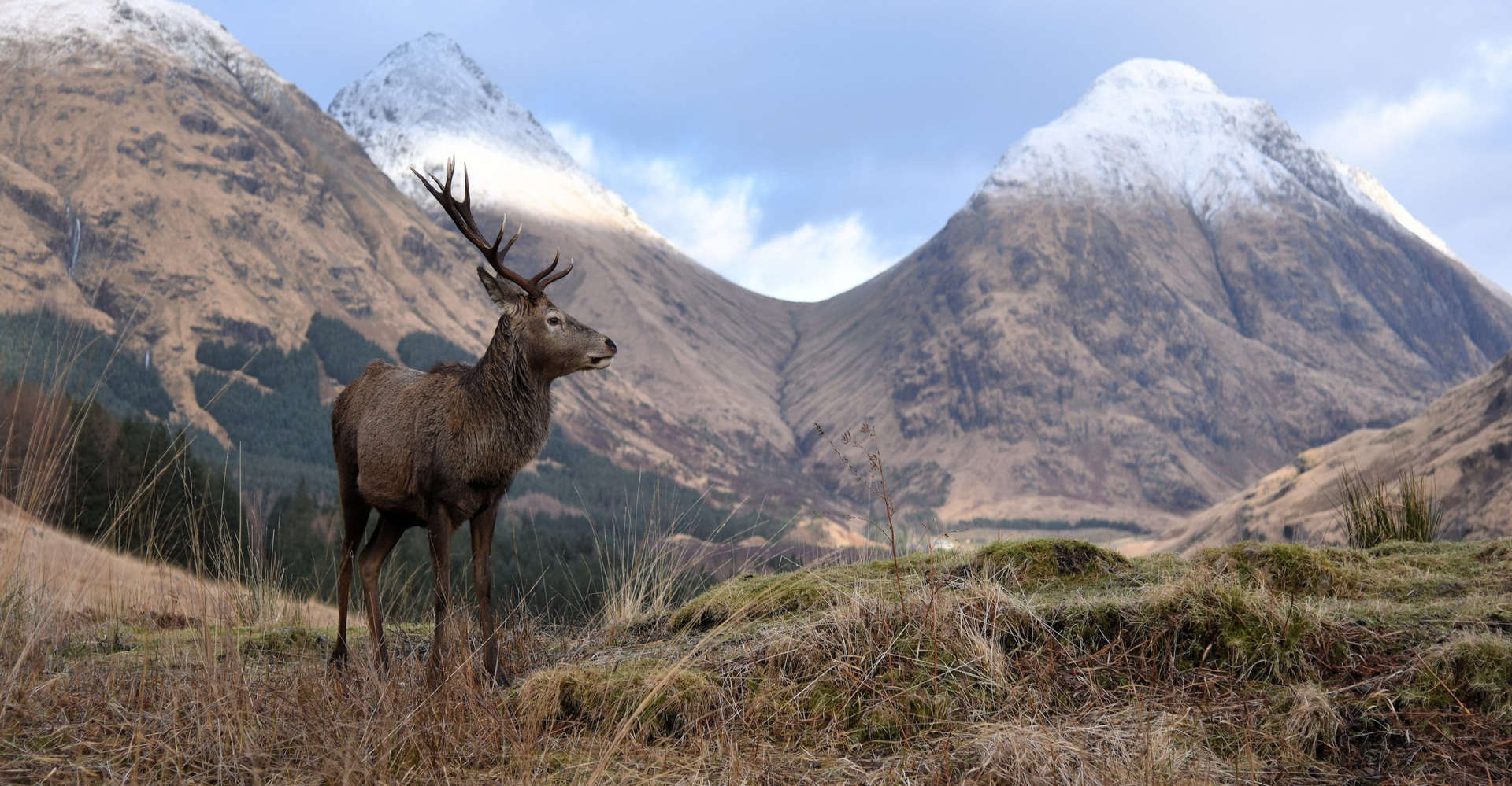 Stag in Glencoe, Scotland with snowy mountains