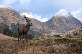 deer seen in snowy glencoe on luxury private wildlife tour in scotland with scotlux
