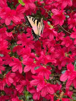 Butterfly in Azaleas
