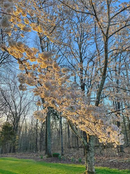 Gorgeous Cherry Blossom