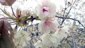 しだれ・八重・うこん桜が咲いています
