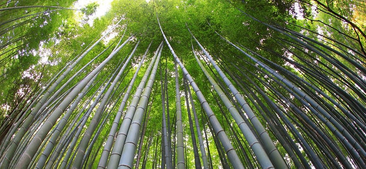 moso bamboo.jpg