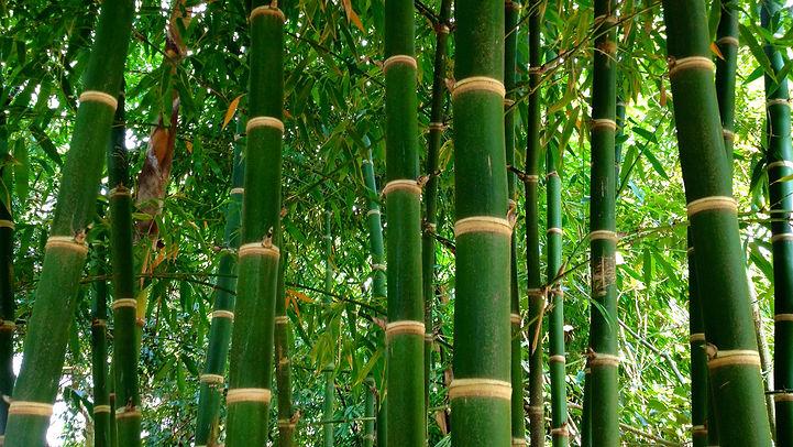 guadoa bamboo.jpg