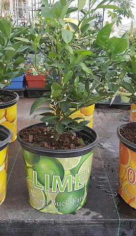 Plants d'agrumes