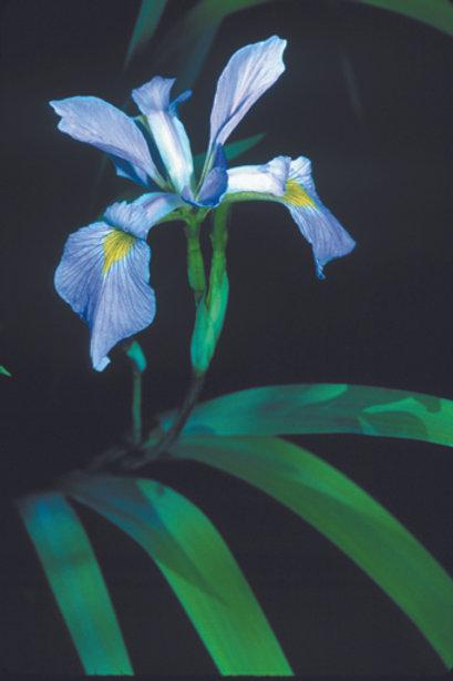 Blueflag Iris, Quart Size