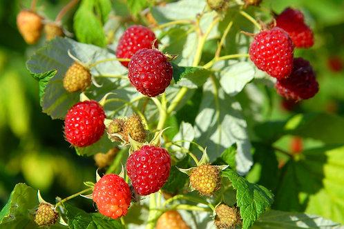 Heritage Raspberry, 3 Gallon Size